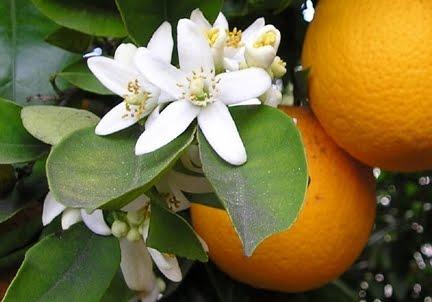 Orange Blossom Pictures Orange Blossoms