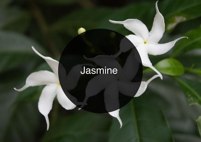 The Candy Perfume Boy's Guide to Jasmine