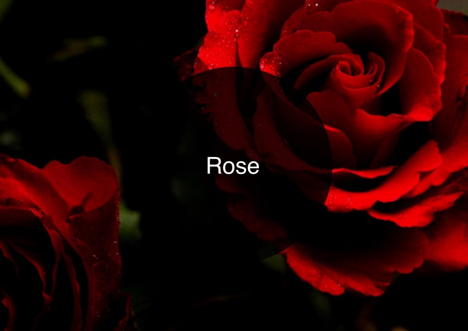 The Candy Perfume Boy's Guide to Rose