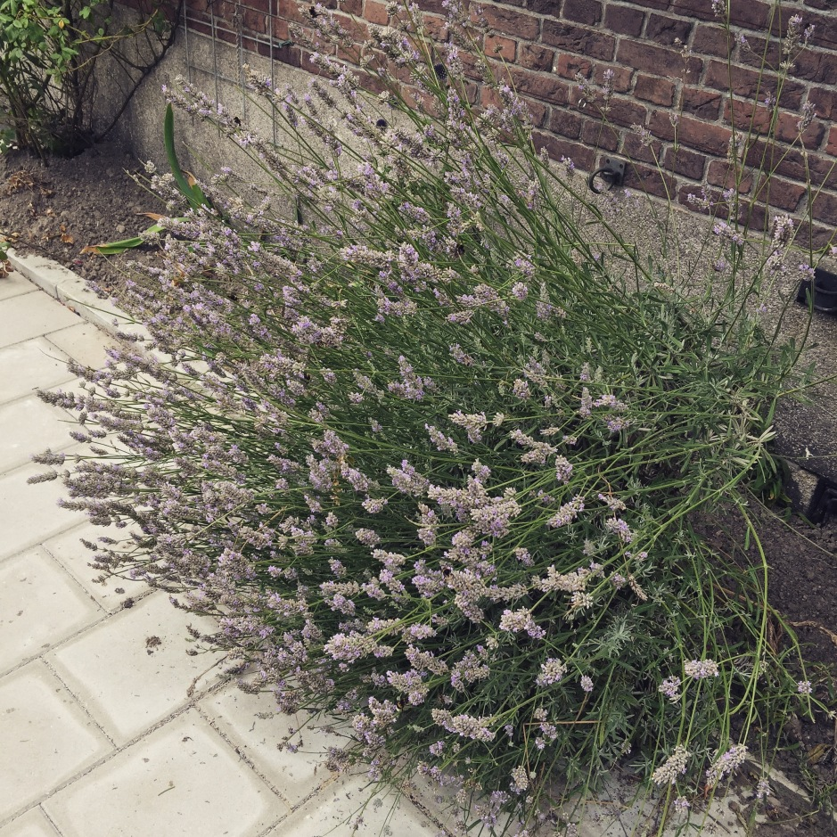 """We could smell the gorgeous herbal caramel scent of this lavender plant long before we could see it. If only we could smell the bees too! #ScentedStories #Amsterdam"""