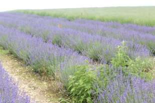 Rolling Fields of Lavender