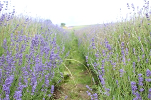 Lavender Highways